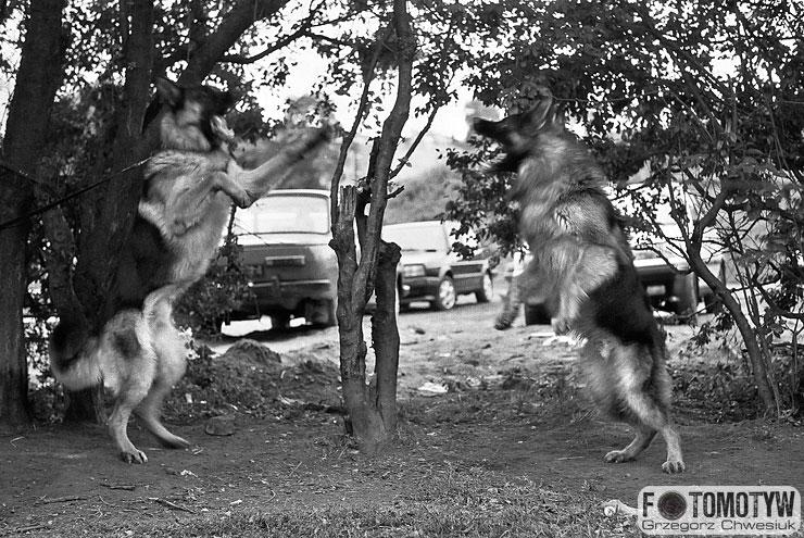 Walczące wilczury - dynamiczna fotografia.