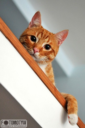 Harold - rudy kot - zdjęcie
